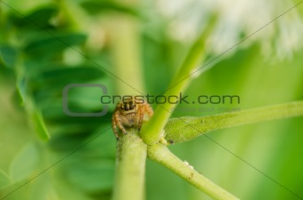 jumping spider macro in green nature