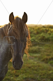 Beautiful close up of New Forest pony horse bathed in fresh dew