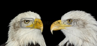 Twin portrait of bald eagles isolated on black