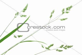Branch of green grass