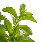 stevia rebaudiana decorative plant