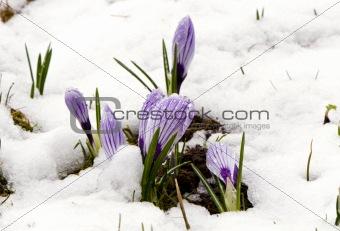 Crocus saffron violet blooms spring flowers snow