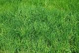 Green grass as herbal texture