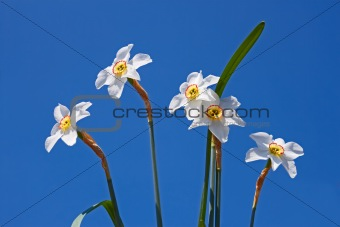 Group of narcissus flowers