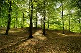 Beech forest
