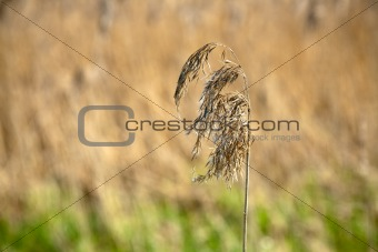 solitary spike dry grass