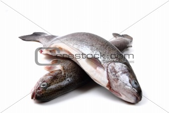 trout fishes
