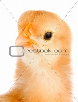 Yellow little chicken