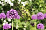 Flowering Global Allium