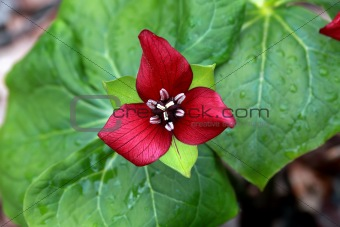 Close up of a trillium erectum
