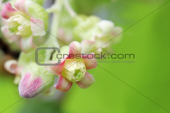 blossom of currant close-up