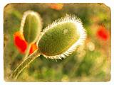 Poppy bud. Old postcard.