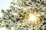 Blossoming spring tree with sun beam