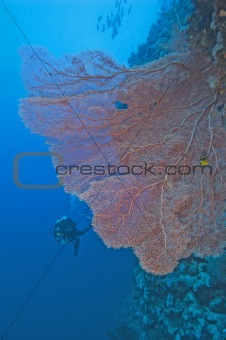 Gorgonian fan coral on a reef wall