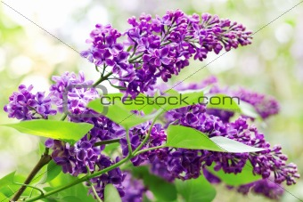 Close up of lilac branches