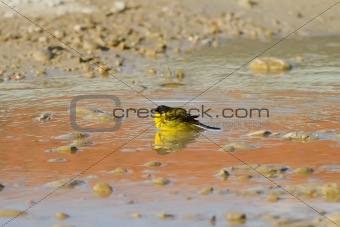 Yellow Wagtail Bathing