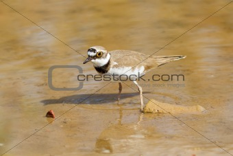 Little Ringed Plover Watching
