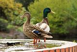 Mallards or wild ducks