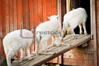 Three lambs in a row