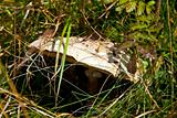 Close up of Parasol Mushroom (Macrolepiota Procera)