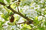 Chafer beetles on flowering hawthorn tree