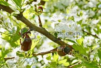Chafer beetles on flowering hawthorn tree