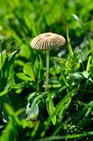 Fairy parasol