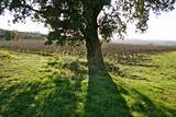 Tree in the Vineyard
