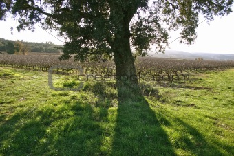Tree in the Vineyard