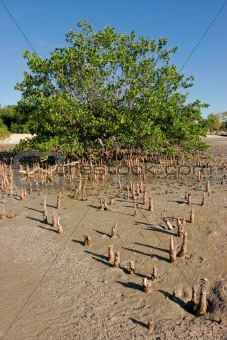 Mangrove tree