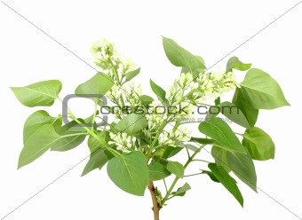 Branch of white lilac