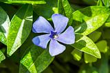 periwinkle growing in the meadow
