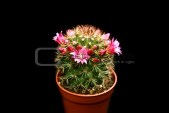 blossoming cactus with purple flowers