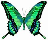 Vector illustration of beautiful blue green butterfly  isolated