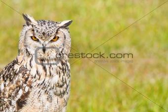 Siberian Eagle Owl or Bubo bubo sibericus