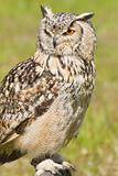 Siberian Eagle Owl or Bubo bubo sibericus
