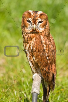 Eurasian Tawny Owl or Strix aluco