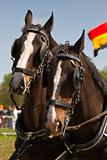 Dark brown draught-horses with blinkers