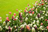 Colorful tulips, hyacinths and daffodils in spring