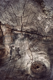 cross section of ancient hardwood tree