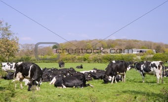Black and white cows grazing in field on sunny day