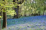 Bright fresh colorful Spring bluebell wood