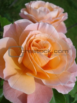 Pink-orange roses