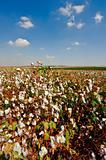Cotton Bolls