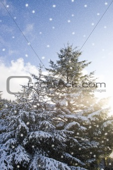 winter snow falling over pine trees