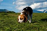 Beagle dog sniffing around