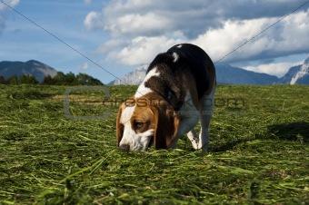 Beagle dog sniffing around