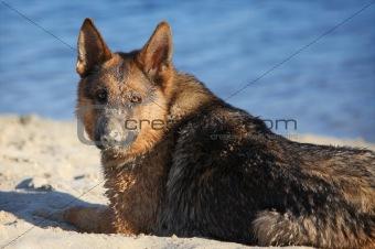 German sheep-dog