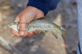 Barbel fish in the hands of the fisherman.