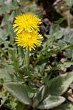 Yellow flower of the Dandelion plant.